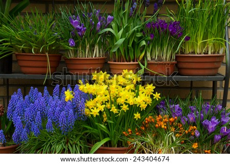 crocuses, daffodils and muscari spring flowers in pots on display in shop - stock photo