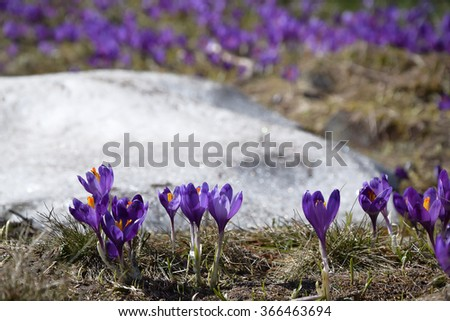 Crocuses, first springtime flowers