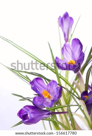crocuses flowers - stock photo