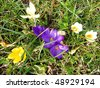 Crocuses in pastel colors - stock photo
