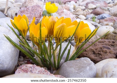 Crocuses in spring in the garden. - stock photo