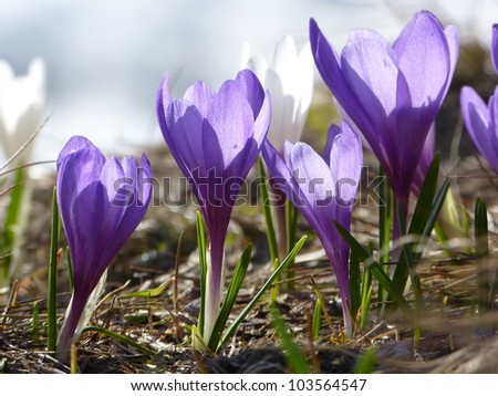 Crocuses in the backlight