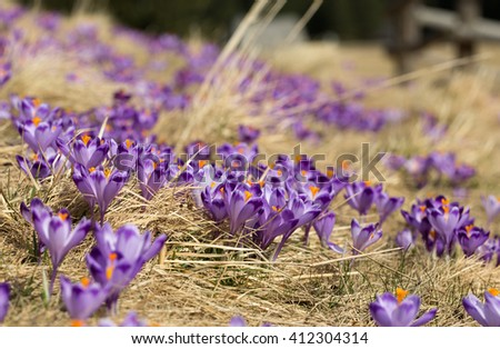 Crocuses on the meadow, first springtime flowers