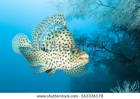 Cromileptes altivelis Humpback grouper fish - stock photo