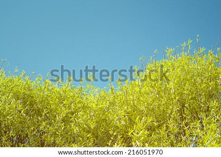 crone of a willow tree against blue sky, cross-processing effect - stock photo