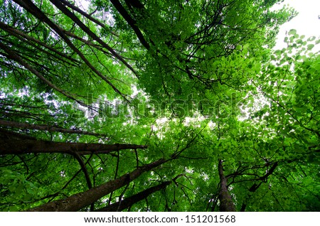 Crone of trees in forest From below - stock photo