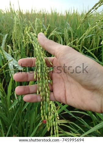 Crop hand holding paddy at paddy field in the morning.
