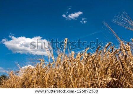 crop just before the harvest - stock photo