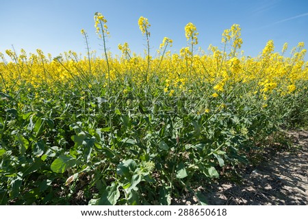 crop of flowering rapeseed plants against a blue sky - stock photo