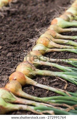 Crop of onion on the ground. Selective focus. - stock photo