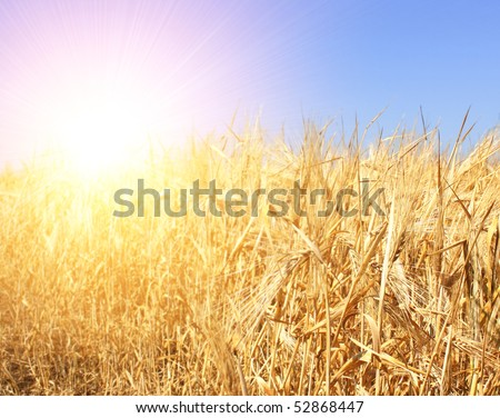 Crop of rye - golden cereal and blue sky - stock photo