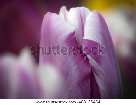 Cropped closeup of a beautiful purple and white colored tulip in soft focus - stock photo