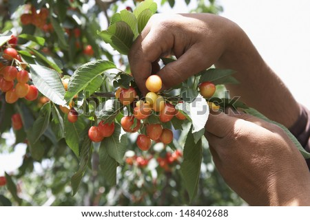 Cropped image of man's hands plucking cherries - stock photo