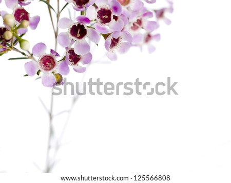 Cropped image of pink flowers in a stem isolated in a white background