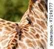 Cropped view of a pair of oxpeckers sitting on a giraffes back - stock photo