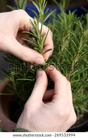 Cropping rosemary