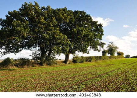 Crops Grow in a Farmland Field Line with Beautiful Old Oak Trees - stock photo