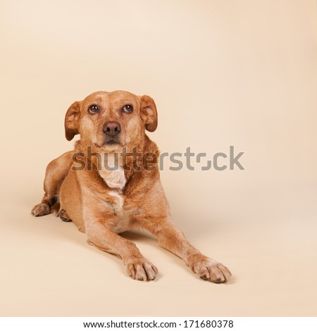 Cross breed dog laying at the cream colored floor - stock photo