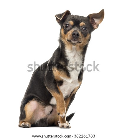 Cross breed dog looking at the camera with his paw up, isolated on white