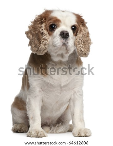 Cross-breed with a Cavalier King Charles Spaniel, 8 years old, sitting in front of white background - stock photo