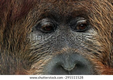 Cross hybrid of the Sumatran orangutan (Pongo abelii) and the Bornean orangutan (Pongo pygmaeus). Wildlife animal.  - stock photo