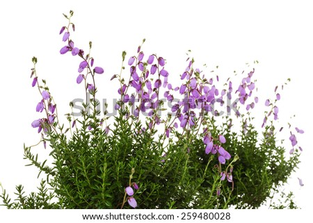 Cross-leaved heath, Erica tetralix - stock photo