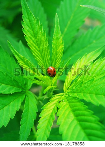 cross process reproduction lucky ladybird - stock photo
