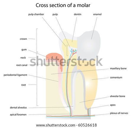 Cross section of a tooth (molar) - raster version (vector available)