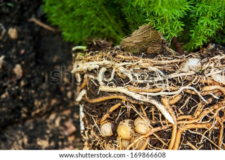Cross section of soil showing a fern with its roots - stock photo