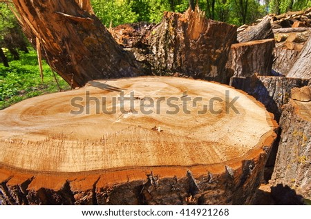 Cross section of the timber, cut trees for the background. Close up cut of logs. Stack of freshly cut poplar timber. Log's crosscuts on the timber cutting. Growth rings felled poplar tree. - stock photo
