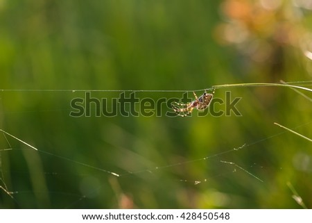 Cross spider (Araneus diadematus) sitting on his web in golden light. Natural background with insect