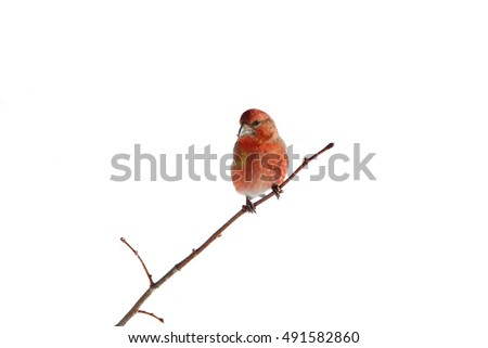 Crossbill on the branches on white background, isolated