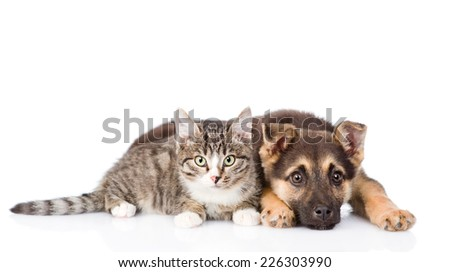 crossbreed dog and tabby cat lying in front. isolated on white background - stock photo