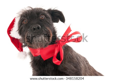 Crossbreed dog posing for Christmas against a white background