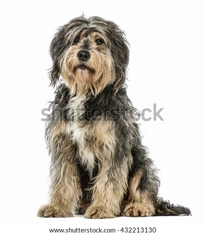 Crossbreed dog sitting and looking at the camera, isolated on white - stock photo