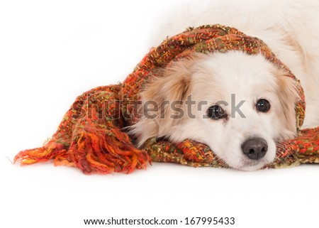 Crossbreed dog with his head resting on a scarf against a white background