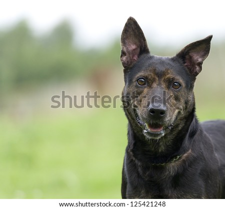 Crossbreed dog with large ears