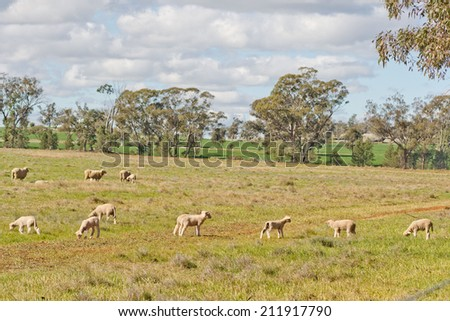 crossbreed ewes and lambs graze in a grass pasture - stock photo