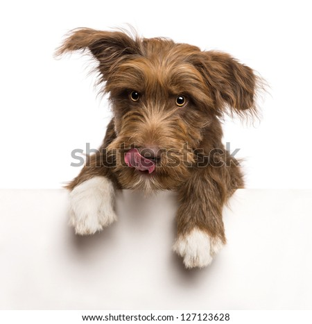 Crossbreed, 5 months old, leaning on a white panel and licking lips against white background - stock photo