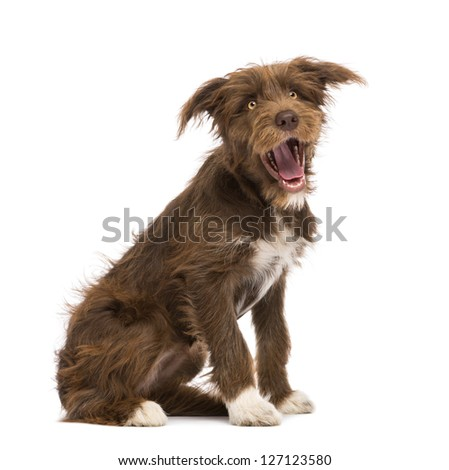 Crossbreed, 5 months old, sitting against white background - stock photo