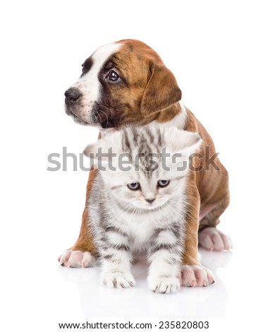 Crossbreed puppy and scottish kitten together. isolated on white background