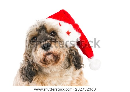 Crossbreed wearing a Santa hat and looking in camera, isolated on white