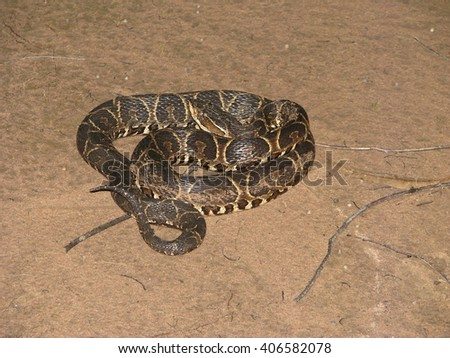 Crossed pit viper