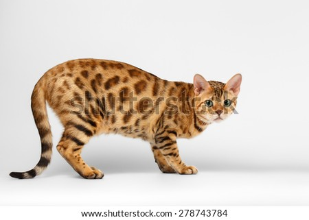 Crouching Bengal Cat on White Background, Profile view - stock photo