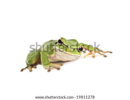 Crouching green Tree Frog isolated on white background. Shallow DOF.