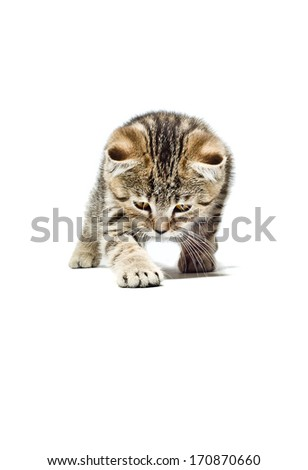 Crouching Kitten Scottish Straight breed isolated on white background