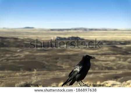 Crow at the Painted Desert at Petrified Forest National Park, Arizona Animal / Bird / Crow / Arizona / Desert Background / Las Vegas / Utah / New Mexico Background - stock photo