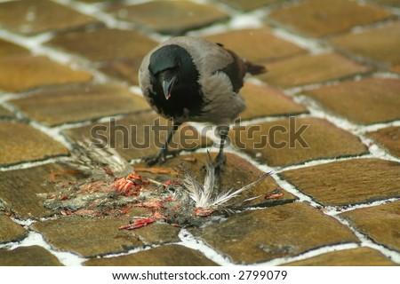 crow eating roadkill - stock photo