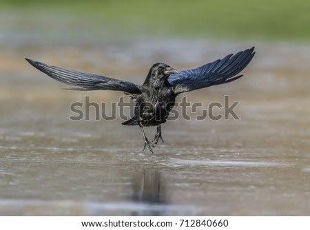 Crow flying from a frozen pool, close up