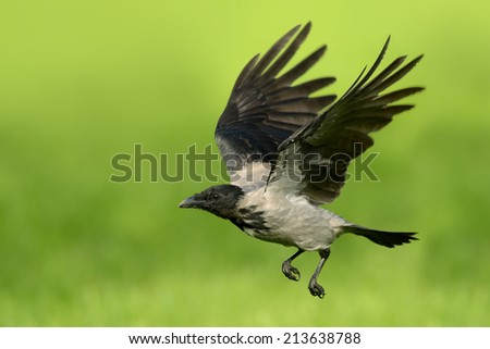 Crow in flight over natural green background. - stock photo